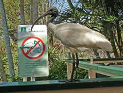Image of Australian white ibis